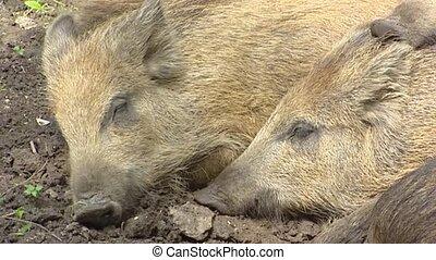 European wild boar (sus scrofa) sleep in mud