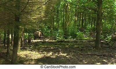 European wild boar (sus scrofa) roaming in forest