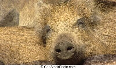 European wild boar (sus scrofa) sleep - full screen close up...
