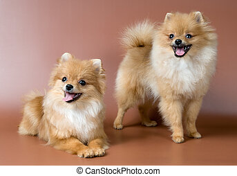 Two spitz-dogs in studio on a neutral background