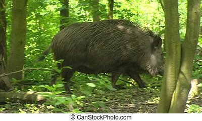 European wild boar (sus scrofa) sow with offspring in forest