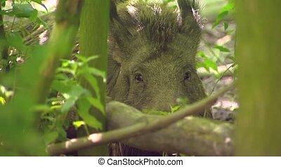 European wild boar (sus scrofa) in forest - on camera