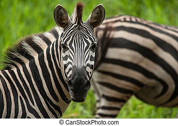 Portrait of plains (Burchells) zebras (Equus burchelli)