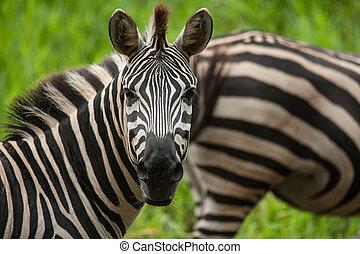 Portrait of plains (Burchells) zebras (Equus burchelli)