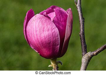 isolated bud of purple magnolia