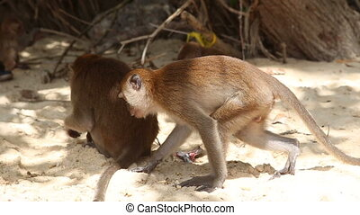 monkey find food among other monkeys - monkey finds food...