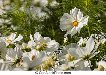 blooming white cosmos flowers - detail of blooming white...