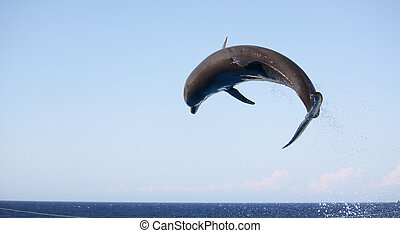 jumping dolphin - a dolphin in mid air jumping over a rope...