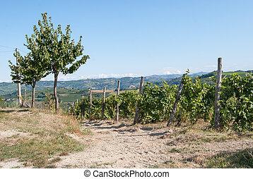 viña, colinas, Piemonte, Italia,