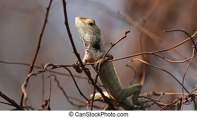 Cameleon - Wild cameleon on a dead branch with bokeh...