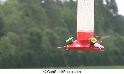 Hummingbird Feeding from Feeder - Hummingbird Feeds from...
