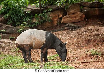 malayan tapir in zoo, Thailand