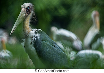 Lesser adjutant stork Leptoptilos javanicus