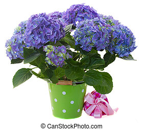 border of blue hortensia flowers - fresh blue hortensia...