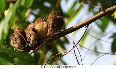 Sleepy Birds - Scaly Breasted Munia chicks trying to take a...
