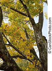 Maple tree with discolored leaves - Nahaufnahme eines...
