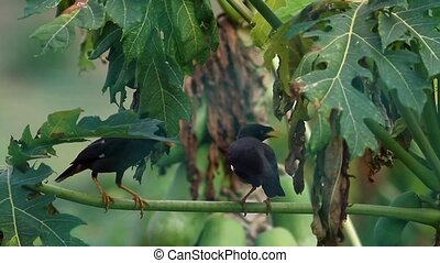 Myna on Papaya Leaf - two mynas on papaya leaf in the...
