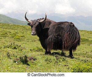 Group of Yaks - bos grunniens or bos mutus - in Langtang...