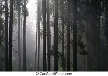 Coniferous trees silhouette against light of misty sunrise