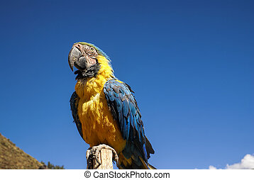 Ara - Beautiful Ara parrot with colorful blue and yellow...