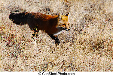 Intent Wild Fox in a Field - Intent wild fox crosses a grass...