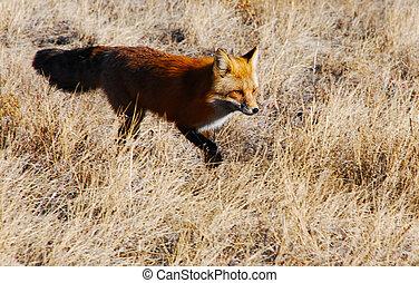 intenção, selvagem, raposa, campo
