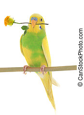 budgie - yellow wavy popugaychik with a rose is isolated on...