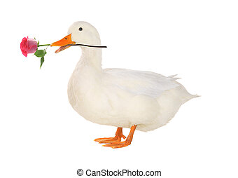duck - duck with a rose on a white background