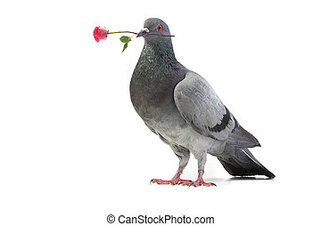 gray dove - gray pigeon with a rose on a white background