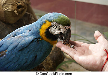 Beautiful parrot is eating food with hands.