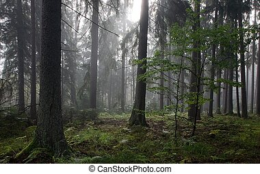 Misty late summer mainly coniferous stand of Bialowieza...