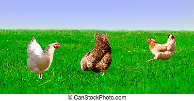 chickens grazing on the green grass against the sky