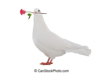 white dove - white pigeon with a rose on a white background...
