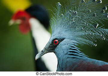 Victoria Crowned Pigeon (Goura Victoria) with blue plumage