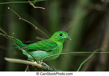 Green bird, a male Green Broadbill (Calyptomena viridis),...