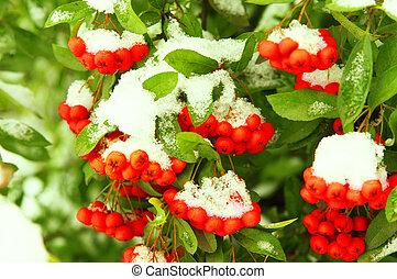 Red rowan berries under snow