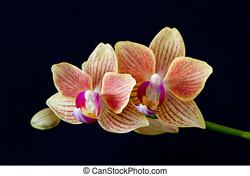 Moth orchids - A close up of Moth orchids Phalaenopsis with...
