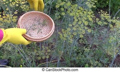 farmer gardener harvesting dill - farmer gardener picks...