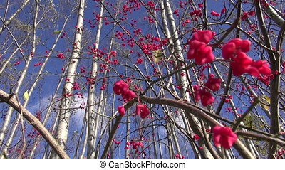 European spindle (Euonymus) beries - beautiful European...