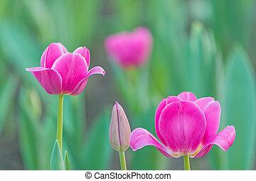 Cor-de-rosa, tulipa,
