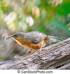 Rusty-cheeked Scimitar-babbler - Brown bird, Rusty-cheeked...