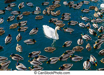 Large amounts of Ducks and a Swan - Large amounts of ducks...