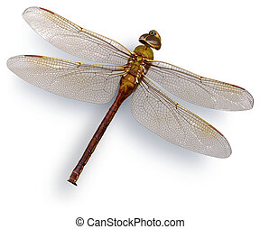 Green dragon fly (Green Darner) - Big dried green dragon...