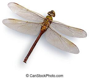 Green dragon fly (Green Darner) - Big dried green dragon...