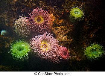 coloridos, macio, Coral