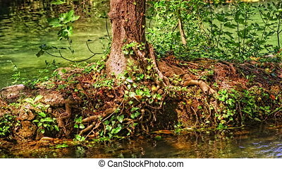Green Krka River - Root trees along the Krka river, detail...