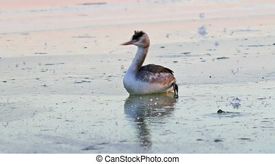 Great crested grebe on the ice