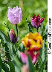 Tulips - Close up image of colorful tulips in spring garden...