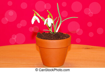 Snowdrops in flower pot - Snowdrops in a flower pot on a red...