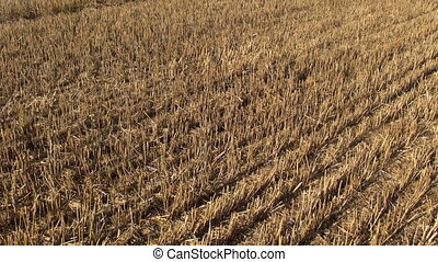 wheat stubble after harvesting